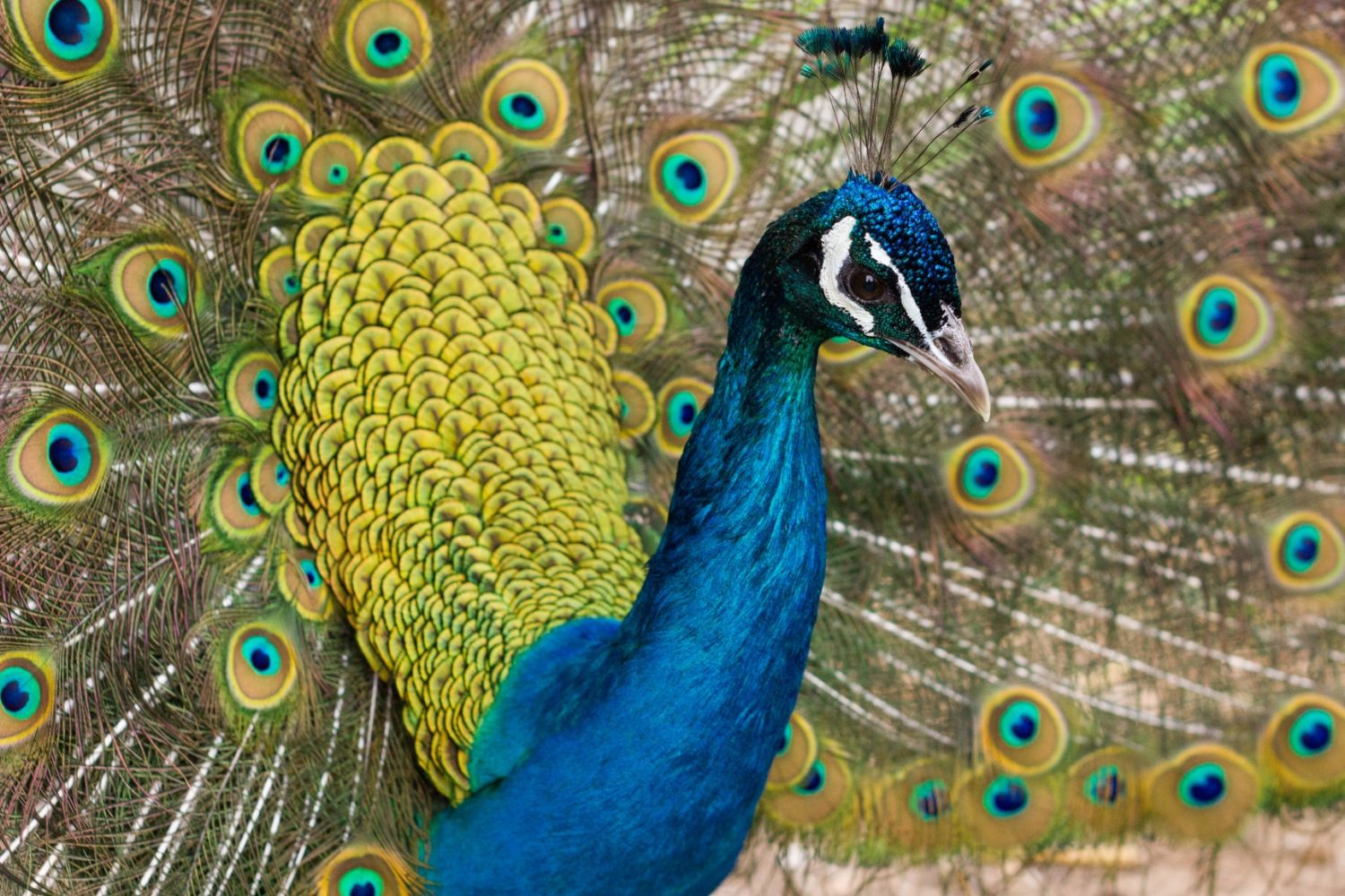 United Airlines Peacock