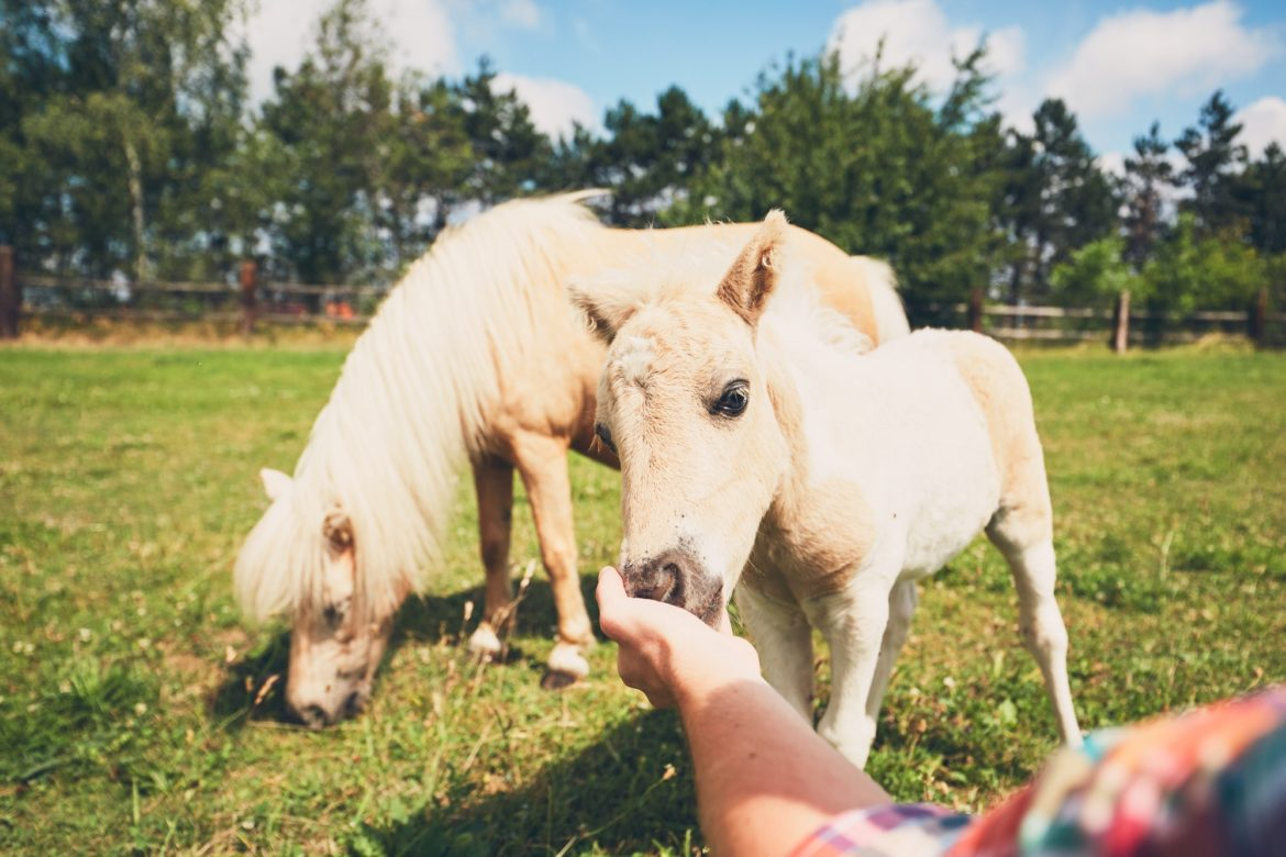 Miniature horses on the pasture