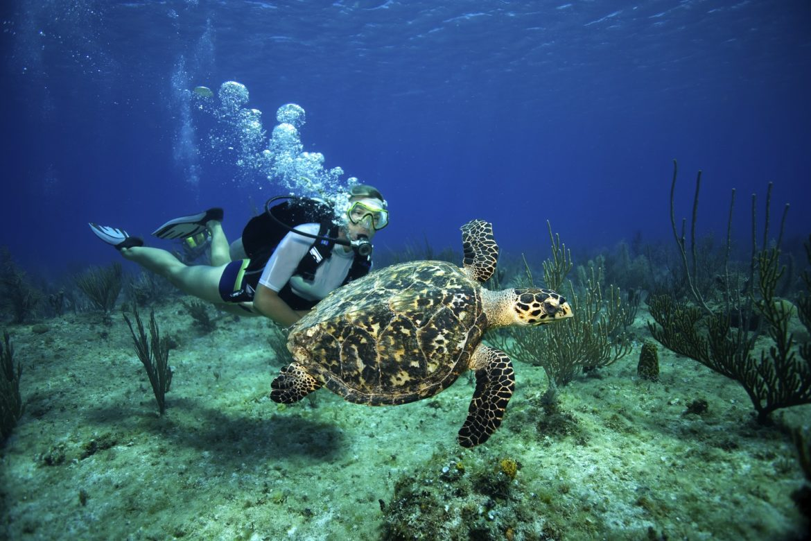 A female scuba diver watches a Hawksbill turtle swim lazily above a reef in the Cayman Islands.
